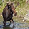 IMG_8260 Bull Moose (cmsheehyjr) Tags: cmsheehy colemansheehy nature wildlife moose grosventre grandtetonnationalpark wyoming jacksonhole antelopeflats