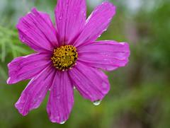 Schmuckkrbchen - cosmea (Danyel B. Photography) Tags: schmuckkrbchen cosmea flower blume blte blossom petal close nah color bokeh dew drop tau regen rain nature natur macro makro