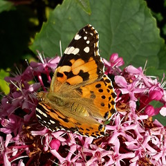 Painted Lady on Clerodendrum bungei (Badly Drawn Dad) Tags: butterfly clerodendrumbungei gbr gloryflower greaterlondon mybackgarden paintedlady sydenham unitedkingdom vanessacardui