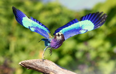 Rockin' & Rollin' [eXPLoReD] (Ger Bosma) Tags: 2mg197902 vorkstaartscharrelaar coraciascaudatus coraciascaudata lilacbreastedroller gabelracke gabelrake grnscheitelracke gabelschwanzracke rollierlongsbrins carracalila ghiandaiamarinapettolilla roller bird african closeup takingoff takeoff wings action flight