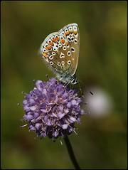 Female Common Blue on Devilsbit Scabious (glostopcat) Tags: commonbluebutterfly butterfly insect invertebrate glos wildflower devilsbitscabious butterflyconservation prestburyhillnaturereserve
