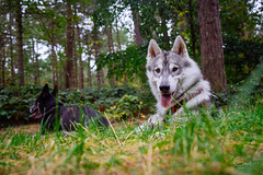 both on break, keeping an eye on the human (Roos van Gent Photography) Tags: siberianhusky hikingwithdogs traildog forest dogphotography sleepy huskypuppy