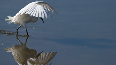Little Egret and its Reflection, Leighton Moss (Gidzy) Tags: leighton moss rr rspb ergret refelction reflection silverdale lancashire autumn lake mere estuary egret nature wildlife