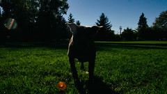 Hippo Dog (Mike Babiarz) Tags: ricoh grd4 vancouver bc canada eastvan strathcona street photography walking fall sunset
