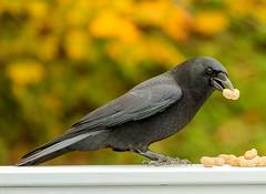 Peanut Thief (Karen_Chappell) Tags: bird black crow nature peanuts bokeh fall autumn orange green newfoundland nfld stjohns canada