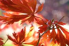 Acer japonicum Aconitifolium (wundoroo) Tags: nybg newyorkbotanicalgarden newyork bronx fall autumn november leaves maple acer