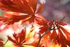 Acer japonicum 'Aconitifolium' (wundoroo) Tags: nybg newyorkbotanicalgarden newyork bronx fall autumn november leaves maple acer