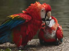 scarlet macaw Ouwehands JN6A6537 (j.a.kok) Tags: ouwehands ouwehandsdierenpark ouwehandszoo vogel ara macaw bird