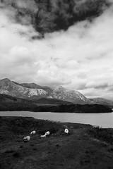 Les rois du Connemara (Lune cns) Tags: blackandwhite nature trip ireland connemara sheep cloud