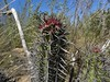 Stenocereus gummosus RB1093 (Robby's Sukkulentenseite) Tags: bajasur cacti cactus fnrrb1093 gummosus ka1304s kakteen kaktus mexiko puertosancarlos rb1093 reise standort stenocereus