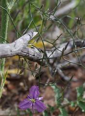 Thysanotus manglesianus, Candys Bush Reserve, Moora, WA, 23/08/16 (Russell Cumming) Tags: plant thysanotus thysanotusmanglesianus asparagaceae candysbushreserve moora westernaustralia