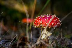 Autumn at its best (Jaco Verheul) Tags: mushroom agaric red paddestoel nikon nikond7100 d7100 1685mm outdoor jacoverheul forrest dslr ngc tmi