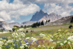 Wyoming Wildflowers (GlobalGoebel) Tags: canonef24105mmf4lisusm 24105mm canoneos5dmarkiii canon eos 5d mark 3 iii grand teton national park backcountry flowers wildflowers tetons wyoming mountains mountain tetoncresttrail