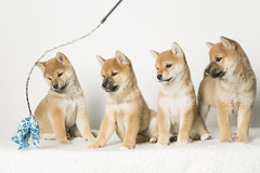 Puppy Party (JulieMorrish) Tags: puppies pups puppyphoto dogportrait shibainu shiba groupofpuppies cute dogphotographer