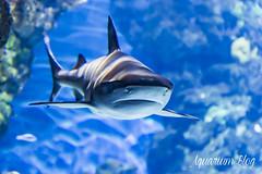 Carcharhinus melanopterus (AquariumBlog.es) Tags: acuario aquarium peces fish pez marino saltwater water freshwater dulce agua corales payaso clown sepia acantharus pterois pomacanthus barcelona arrecife reef