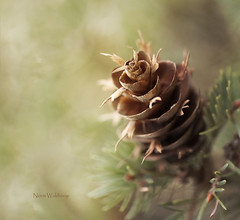 A Breath of Wilderness (Pragmatic1111) Tags: pinecone pine tree seed colorado green brown sap morning sunlight nikon d700 180mmf28 coloradosprings forest wilderness mountain trail hike beauty beautiful flash sb700 cls creativelightingsystem