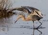 shading the target (fins'n'feathers) Tags: florida merrittislandnwr nationalwildliferefuge animals birds wildlife egret reddishegret fishing hunting catchingfish
