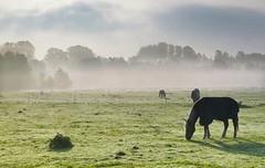 im Morgennebel (wolfi-rabe) Tags: nebel nebelstimmung pferdekoppel gegenlicht
