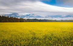 Yellow fields (Dejan Hudoletnjak) Tags: rapeseed oilseed yellowfields yellow field fields landscape moodyweather autumn october