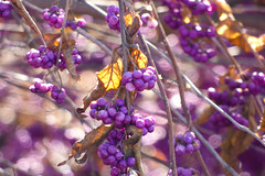 Final Breath (Alemap.1) Tags: purple fall autumn leaves light macro nature berries