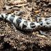 Marbled Salamander, Male