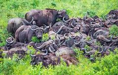 stay close and warm (werner boehm *) Tags: wernerboehm hluhluweimfolozipark sdafrika buffalo safari morningpirsch morgenpirsch