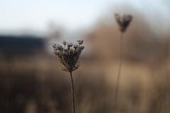 Berlin bei Malchow - Feld, Dolde (tom-schulz) Tags: eos6d rawtherapee carlzeissjenatessar8028 feld pflanze dolde herbst berlin bokeh