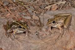 Rocket Frog (Litoria nasuta) (shaneblackfnq) Tags: rocket frog litoria nasuta shaneblack daly river nt northern territory australia top end tropics tropical amphibian