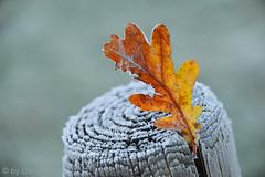frisse-start (Don Pedro de Carrion de los Condes !) Tags: donpedro d700 vorst wit rijp nijkerk herfst blad ijs bevroren smorgens detail paaltje nachtvorst berijpt gevallen koud cold