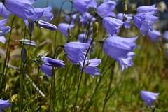 Harebells on Silver (Sotosoroto) Tags: dayhike hiking cascades washington mountains silverpeak flowers