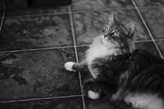 Contented (dylan583) Tags: smctakumar1450 m42 takumar sonydslra700 manualexposure wideopen f14 manualfocus adapter cat animal pet blackandwhite blackwhite sonya700 naturallight