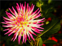 Autumn Beauty Dahlia (Ostseetroll) Tags: deu deutschland geo:lat=5407414821 geo:lon=1077945648 geotagged hansapark schleswigholstein sierksdorf macroshot makroaufnahme dahlie dahlia blte blossom herbst autumn