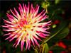 Autumn Beauty Dahlia (Ostseetroll) Tags: deu deutschland geo:lat=5407414821 geo:lon=1077945648 geotagged hansapark schleswigholstein sierksdorf macroshot makroaufnahme dahlie dahlia blüte blossom herbst autumn