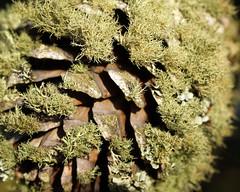 Moss Cone (Cepreu K) Tags: sanbruno macromondays itsalive cone pine moss