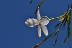 DSC_9867 (Hachimaki123) Tags: planta plant flor flower jazmin