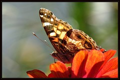 IMG_1806 Dawn of a New Day 9-15-16 (arkansas traveler) Tags: butterfly paintedladybutterfly paintedlady bichos bugs insects flowers zinnia zoom telephoto nature naturewatcher natureartphotography bokeh bokehlicious