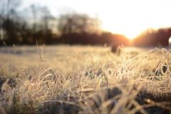 FROSTY MEADOW (M.KOWSKY) Tags: winter morning meadow grass sunrise sun macro dof blur trees frost bokeh december