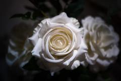 Rosas Blancas... Explored 22/11/2016 (protsalke) Tags: flowers colors patrinast white bokeh focus nikon d700 beautiful lights