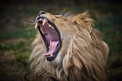 fan de la mgm (rondoudou87) Tags: lion parc zoo reynou pentax k1 nature natur wild wildlife dent tooth wildfelinephotography highqualityanimals