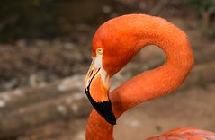 Zoo animals (series 5/9) (Marcos Jerlich) Tags: zoo animals flamingo portrait dephtoffield colour contrast saopaulo brazil texture november canon canont5i lightroom marcosjerlich