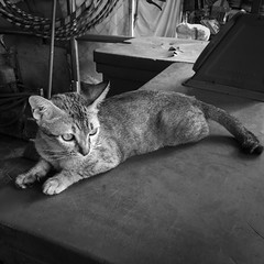 Cats in Cambodia  Series 1-9 (finnur.malmquist) Tags: krongsiemreap siemreapprovince cambodia kh