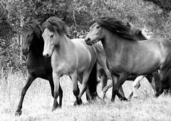Icelandic Horses_4186 (David Basiove) Tags: skancheli horse iceland pony equine herd running gallop horses