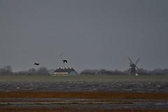 Flying ducks / Flugenten im Wattenmeer (malp007) Tags: duck ente fliegen wattenmeer nature animal tier landscape landschaft nordsee wind wellen wave northsea vesterhavet