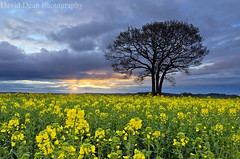 Yellow Dawn (jactoll) Tags: uk morning england flower tree yellow rural sunrise landscape dawn countryside early spring oak nikon gb arrow nikkor warwickshire vr 2012 midlands rapeseed alcester warks 1685mm d7000 jactoll