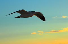 Born to be Free (Spice  Trying to Catch Up!) Tags: sunset sky color nature clouds canon geotagged photography eos flying photo wings flickr seagull gull picture free      miyagiken    ibon  laridae  borntobefree    tagak     kissx4 matsushimamachi gettyimagesjapan12q2