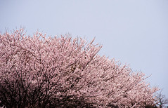 Flowers vs. Sky (Out of Focus [sic]) Tags: sky tree japan cherry spring blossom sakura kotoura