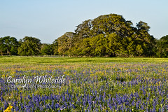 Oak and Bluebonnet Springtime