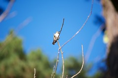DSC_1574 (john.r.d.reynolds) Tags: goldengatepark birds wildlife hummingbirds
