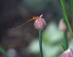 Eastern forktail damselfly on chive flower bud (psiegle) Tags: damselfly chiveflower easternforktaildamselfly