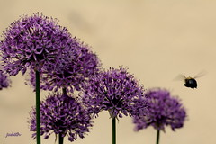 allium at eleven o'clock (judecat (it's all in the Nature of things)) Tags: flower bee bumblebee mygarden allium purpleflower